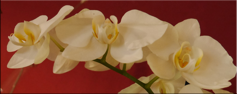 bluetenrausch poehlde ihr blumenfachgesch ft orchideen. Black Bedroom Furniture Sets. Home Design Ideas